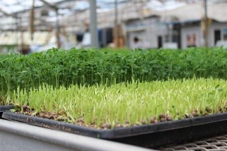do microgreens regrow